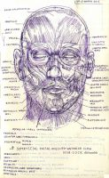 Superficial Facial Muscles (Study) by Nim-lock