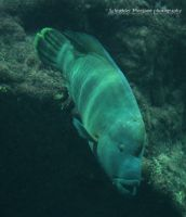 Humphead Wrasse by MorganeS-Photographe