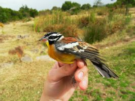 Golden-breasted Bunting by spooky-amateur