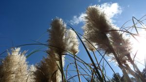 Pampas Grass by zarbor