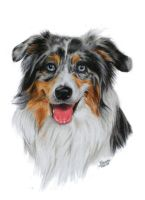 Australian Shepherd by MillyIsDreaming