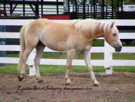Haflinger 3 by EquineStockImagery