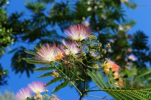 Blooms of the Mimosa Tree by KYghost