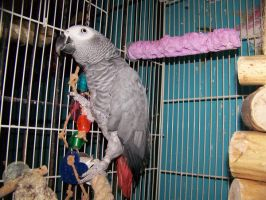 The new African Grey by parrots4life