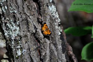 Pearl Crescent by aperfectmjk