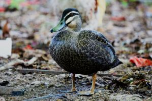 Wild Duck III by courtneytartan