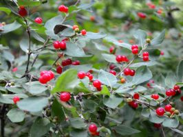 Cluster of red berries by uguardian