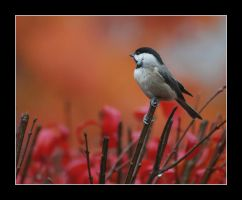 Burning Bush Chickadee by thequiet1