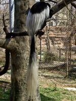 Colobus Monkey I by Baq-Stock
