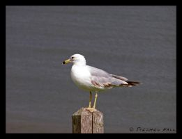 Noble Seagull Two by Geayzus