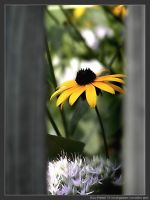 Daisy Framed by micahgoulart