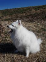 Japanese Spitz'2 by SheltieWolf