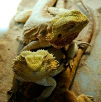 NIRM - Bearded dragons by Zandraka