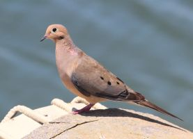 Mourning Dove by Folkeye