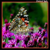 Painted Lady 05 by boron