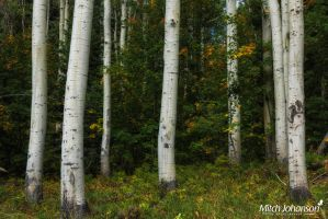 Close Up Aspens by mjohanson
