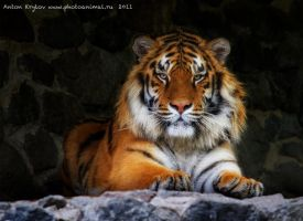 Photo Session with Tiger 2 by Jagu77