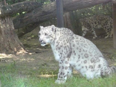 Snow Leopard 02 by Neltharia