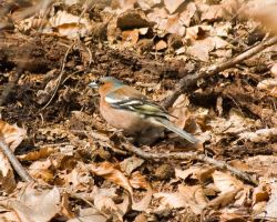 Chaffinch by duncan-blues
