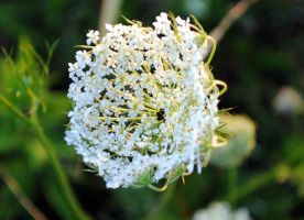 Queen Anne's Lace by moonshine09