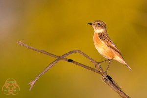 Stonechat by ahmedalali