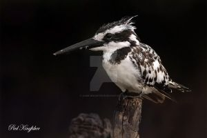 Pied Kingfisher by Jamie-MacArthur
