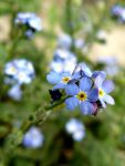 blue forget-me~2 by andi40