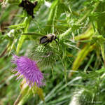 Bee n thistle by Mogrianne