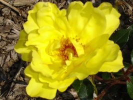 Yellow Rose by Eadlin