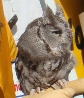 Eastern Screech-Owl by Laur720