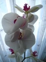 White Orchid by sidneyj06