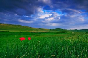 Wild poppies by lica20