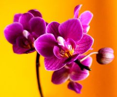 Day 54. Orchid passion by lilvdzwan