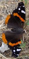 Red Admiral Butterfly by captpackrat