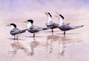 Crested Terns- Queensland Australia by RobertMancini