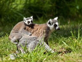 Ring Tailed Lemur 04 - June 12 by mszafran