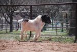 Miniature Horse - Stock by Barrelracer1234