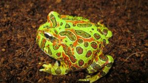 Ornate Pacman Frog 2 by ReptileMan27