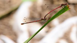 Large Red Damselfly 1600x900 3 by aradilon
