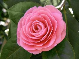 Pink camellia by desmo100