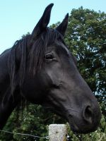 The Black Beauty - Trakehner Mare Portrait by LuDa-Stock