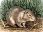 Greater Cane Rat by WillemSvdMerwe