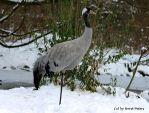 Eurasian Crane by bluesgrass