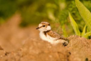 Little Plover Chick by thrumyeye