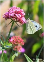Cabbage White by SweeneyTed
