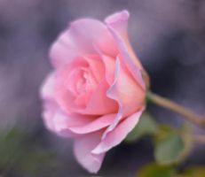50mm Rosebud for Maya by MayEbony