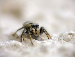 Salticus scenicus. by efeline