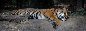 Resting Tiger by PrimalOrB