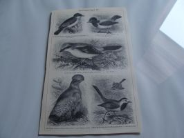 Bird Lithographs 1 SOLD by Lot1rthylacine