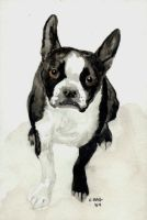 Another Boston Terrier by RamonaQ